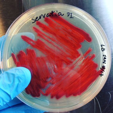 Serratia cultured by WhiteFeather