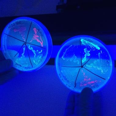 Fluorescent GMO bacteria cultured by Nurit Bar-Shai