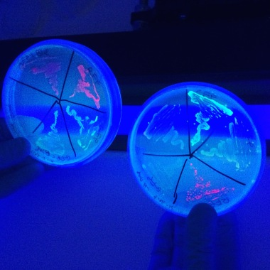 Fluorescent GMO bacteria cultured by Nurit Bar-Shai
